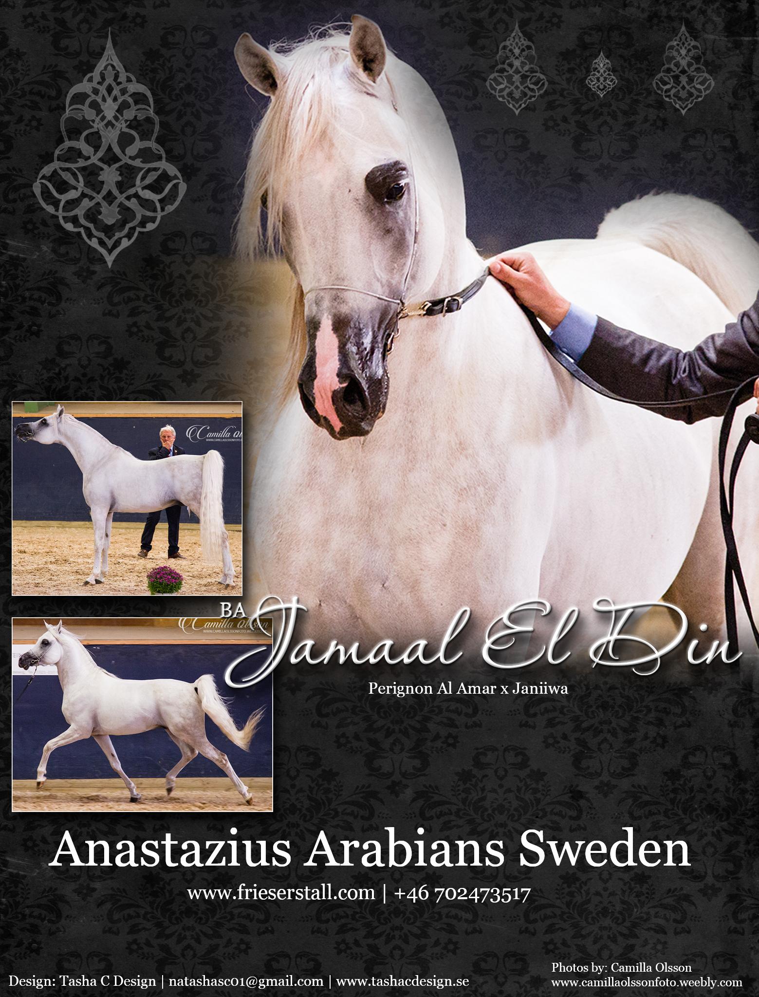 Fernando - Anastazius Arabians